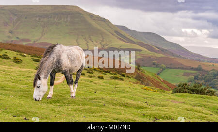 A wild horse grazing near Hay Bluff and Twmpa in the Black Mountains, Brecon Beacons, Wales, UK - Stock Photo