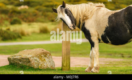 A wild horse near Hay Bluff and Twmpa in the Black Mountains, Brecon Beacons, Powys, Wales, UK - Stock Photo