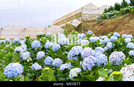 Field hydrangeas with hundreds flowers blooming all hills beautiful winter morning. This is a place to visit ecological - Stock Photo
