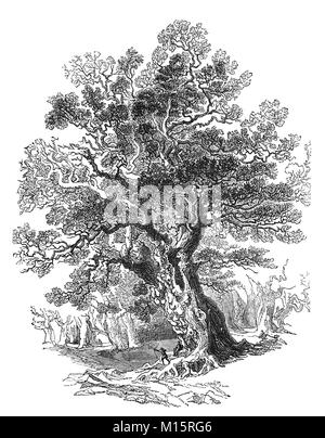 The 'Forest King'. One of the oak trees in Sherwood Forest, in Nottinghamshire at the time of Robin Hood, generally - Stock Photo