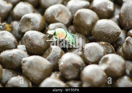 Iridescent Dung Beetle Rolling Ball of Dung - Stock Photo
