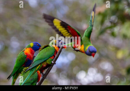 Rainbow lorikeet launching itself from a tree as three other lorikeet watch the take off from the same branch - Stock Photo