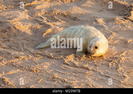 Baby newborn seal with white fluffy coat waiting on the sandy beach for food from mummy. Norfolk coastline at Horsey - Stock Photo