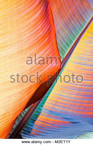 Banana leaves - Stock Photo