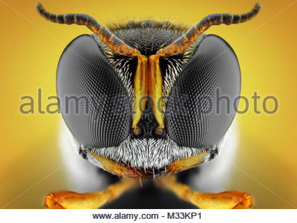 SquareHeaded Wasp - Stock Photo