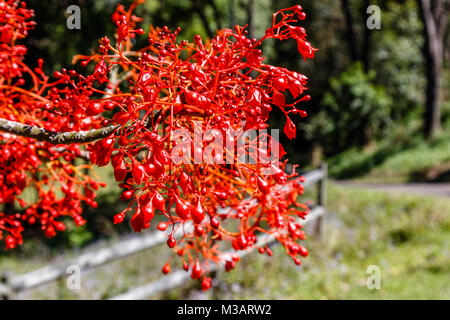 A branch of blooming Illawarra flame tree. Queensland, Australia - Stock Photo