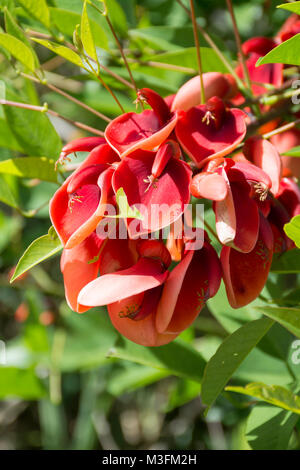 Erythrina crista-galli tree. Cockspur coral tree, ceibo, seibo. National flower of Argentina. Buenos Aires, Argentina - Stock Photo