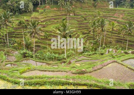 Beautiful rice terraces in the moring light near Tegallalang village, Ubud, Bali, Indonesia - Stock Photo