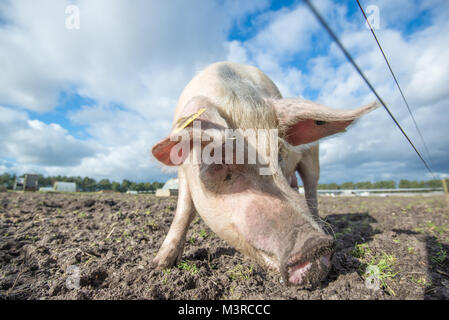 Happy pig on an organic farm in the UK - Stock Photo