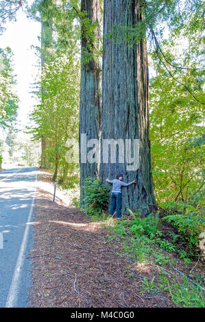 a mature woman standing among the towering sequoias in Northern California - Stock Photo