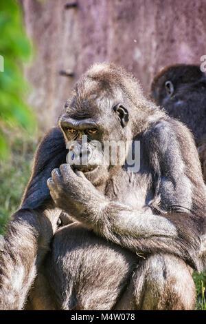 Western lowland gorilla - Gorilla gorilla gorilla - is posing. Animal scene. - Stock Photo