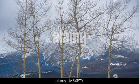 Winter aspens with mountains in the background, Jasper National Park, Canada - Stock Photo