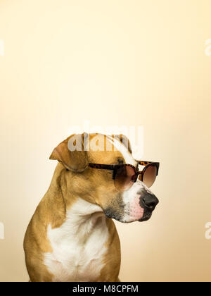 Funny staffordshire terrier dog in sunglasses. Studio photo of pitbull terrier puppy in summer shades posing in - Stock Photo