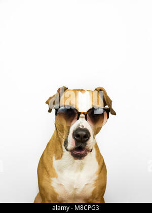 Funny staffordshire terrier dog in sunglasses. Studio photo of pitbull terrier puppy in summer eyeglasses posing - Stock Photo