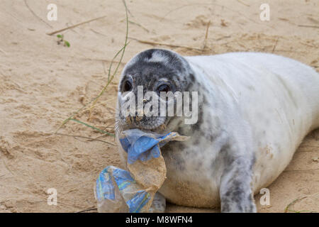Grey seal pup,  Halichoerus grypus, with rubbish, on the breeding beaches at Horsey, Norfolk, UK. - Stock Photo