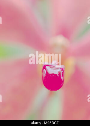 Close up shot of rain drop on lip of pink orchid flower over blurred column, petals and sepals background show concepts of calm and relaxation - Stock Photo
