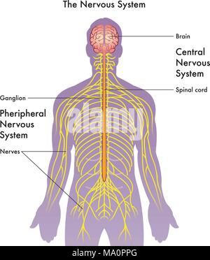 vector medical illustration of the nervous system on a white background - Stock Photo