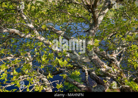 Close up of a waterside Oak tree covered in mosses and with new green leaves. An Oak tree in Snowdonia, North Wales. - Stock Photo