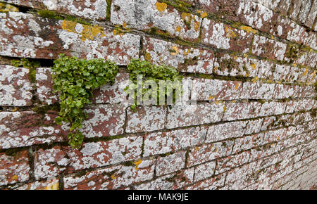 Old weathered brick wall covered with lichens and clusters of liverwort growing in the mortar - Stock Photo