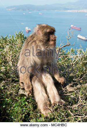 Single Barbary macaques on upper Gibraltar Rock. Gibraltar, UK - Stock Photo