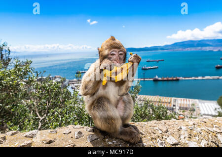 Barbary macaque monkeys on the Rock of Gibraltar. This is the only colony of wild monkeys in Europe and consists of around 300 animals. - Stock Photo