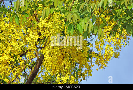 What is the yellow part of a flower called choice image flower golden shower flower national flower of thailand called konna in national flower of thailand the golden mightylinksfo Images