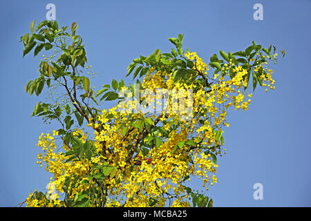 What is the yellow part of a flower called choice image flower golden shower flower national flower of thailand called konna in golden shower or cassia fistula the mightylinksfo Images