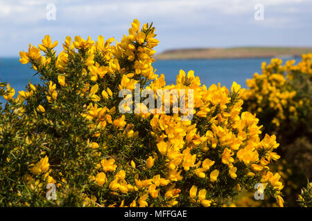 Gorse evergreen bush in springtime bloom in county kerry ireland yellow flowers on a common whin bush or gorse displaying their full spring glory in county mightylinksfo Images