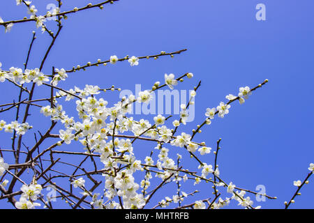 White plum blossoms and blue sky bright background. - Stock Photo