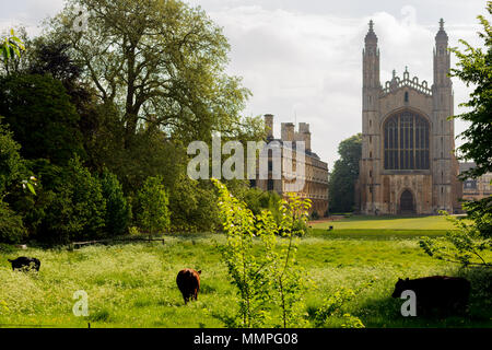 Cows grazing on land infront of King's College Chapel, Cambridge, UK - Stock Photo