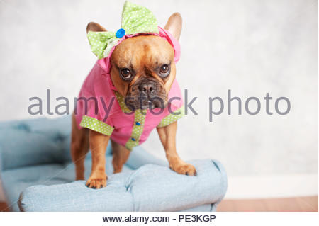 Red Fawn French Bulldog Wearing Pink And Green Outfit And Head Bow