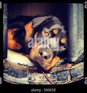 Dog in whisky Barrel Kennel. - Stock Photo