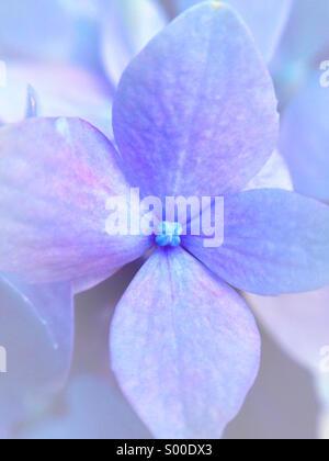 Macro of a hydrangea flower. - Stock Photo
