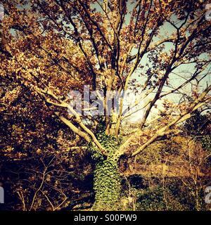 Ivy dressed tree - Stock Photo