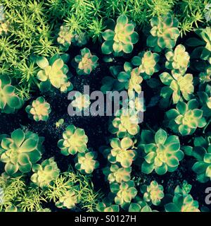 Succulent plants - Stock Photo