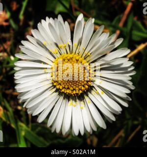 White daisy in Villaluenga del Rosario, Parque Natural Sierra de Grazalema, Sierra de Cadiz, Andalusia, Spain - Stock Photo