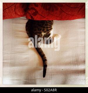 A cat is seen trying to hide under couch pillows. - Stock Photo