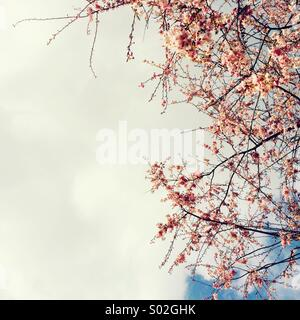 Pink blossom and sky - Stock Photo