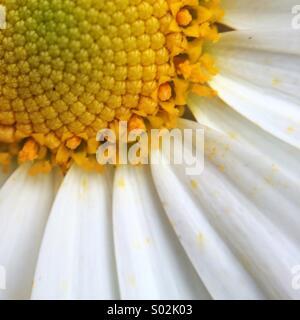 Macro of a daisy. - Stock Photo