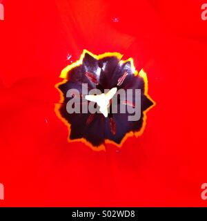 Black uneven shape on strong red background Tulip flower close up - Stockfoto