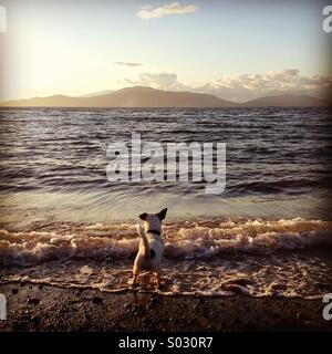 Puppy dog's first steps into the ocean at sunset. - Stock Photo