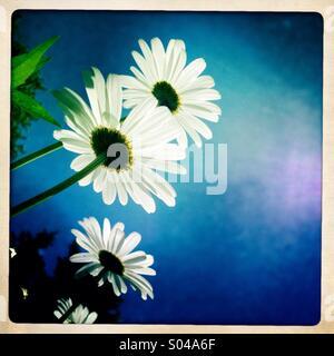 Pushing up daisies - Stock Photo