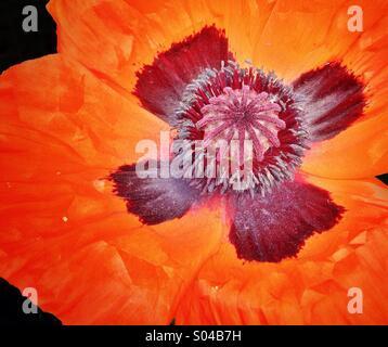 Spring poppy - Stock Photo