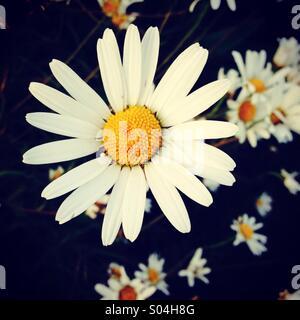 Daisy flower - Stock Photo