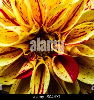 Dahlia yellow and red striped - Stockfoto