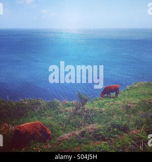 Cows by the sea, Devon - Stock Photo