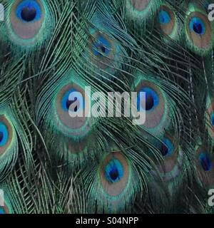 Close up of a Peacock's feathers - Stock Photo