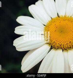 Daisy close up - Stock Photo