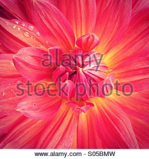Dahlia flower, close-up - Stockfoto