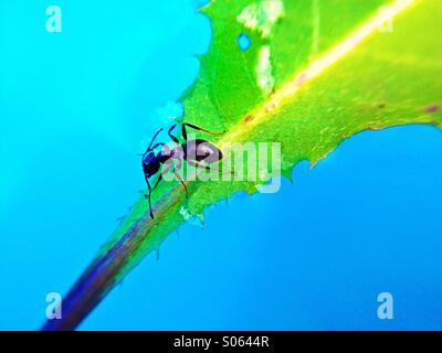 Ant on a leaf floating on water - Stockfoto